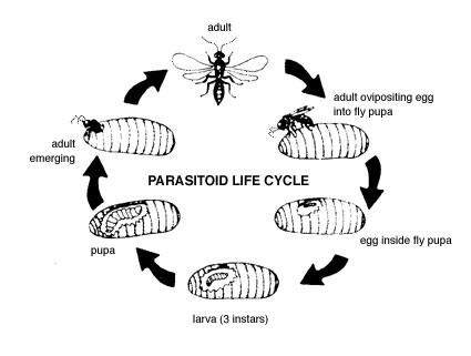 Parisitoid Life Cycle