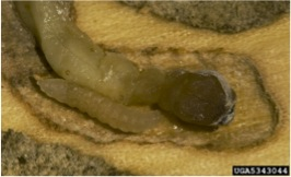 A. flavipes late pupal stage within host
