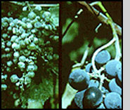 Grape cluster infected with powdery mildew.