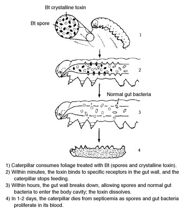 Action of Bacillus thuringiensis var. kurstaki on caterpillars