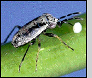 Bigeyed bug nymph feeding on corn earworm egg. J.K.Clark Courtesy of the Univ. of Calif. Statewide IPM Project