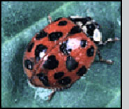 Adult with full complement of spots. J.Ogrodnick