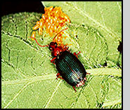 Lebia grandis feeding on Colorado potato beetle eggs. D.N.Ferro