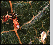 Adult Neoseiulus attacking a European red mite. Note the pale adult in the lower right that has not yet fed. G.Catlin