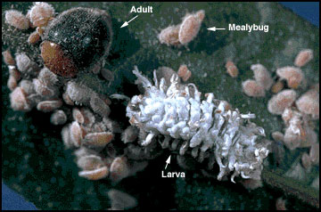 Mealybug destroyer adult and larva attacking citrus mealybugs.
