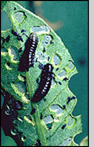Bottom:A. hygrophila larvae. Note the window-like appearance of the holes on the leaves.