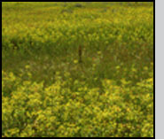 Bottom: Localized leafy spurge mortality, one year after A. flava release (at stake). R.Hansen