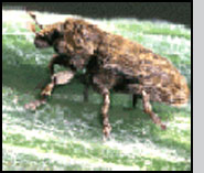 B. fausti adult weevil. R.Richard