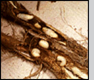 Bottom: C. achates damage to knapweed root; exposed larvae and pre-pupae. R.Richard
