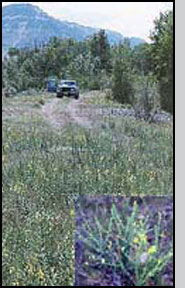 Dalmatian toadflax infestation: W.Hartung, NRCS; and plant (inset): R.Hansen, USDA-APHIS
