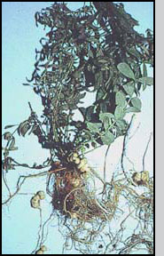 Bottom: G. linariae root galls on toadflax plant. C. Paetel, CABI Biosciences