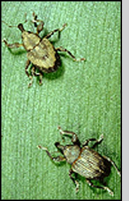 Top: N. eichhorniae left, N. bruchi right. Notice tan chevron on back of N. bruchi.
