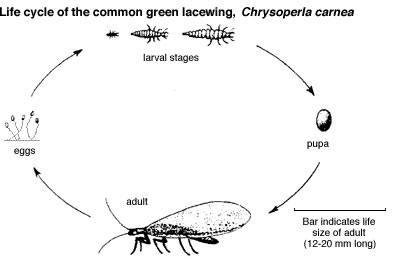 Green Lacewing Life Cycle